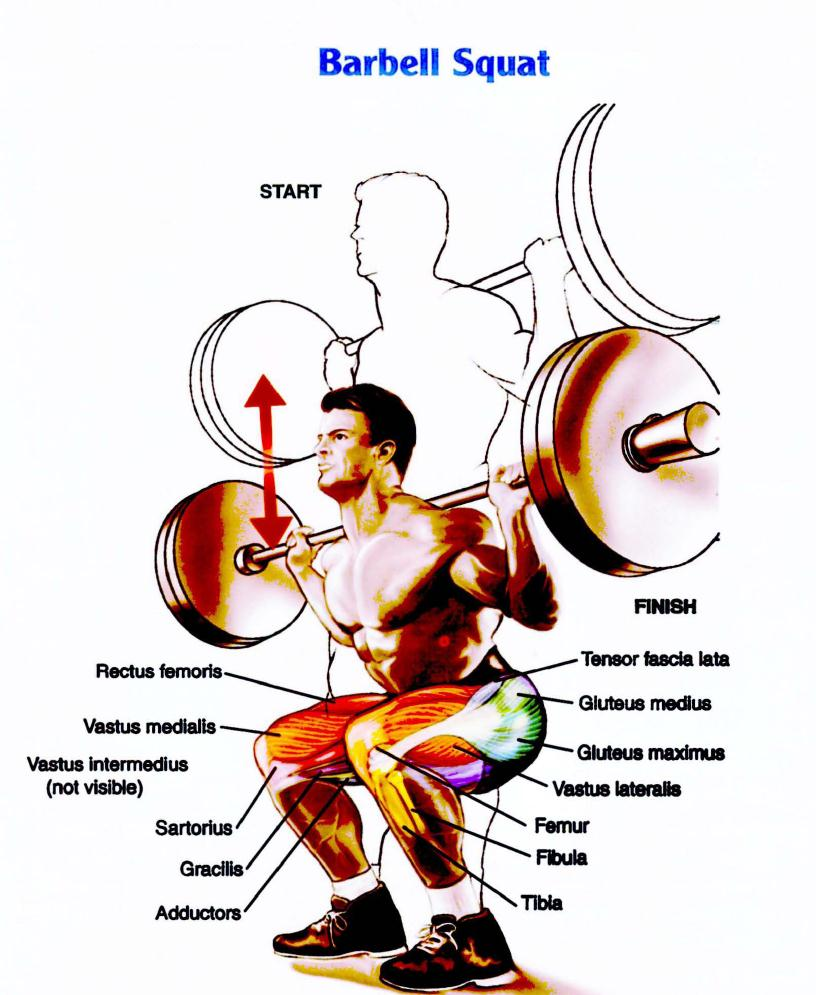 Barbell Squat Muscle Anatomy